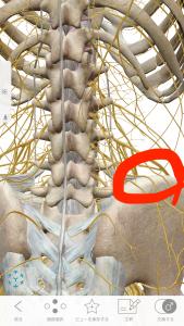 上臀皮神経
